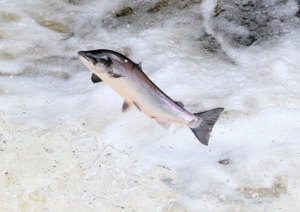 Image of salmon leaping at the Falls of Shin